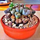 RARE Lithops MIX succulent cactus EXOTIC living stones desert rock seed 50 SEEDS
