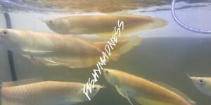 LIVE TROPICAL FISH-yellowish Golden albino Silver Arowana 12 Inches