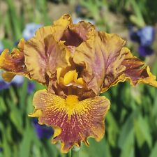"Dude Iris Plant 4"" Pot 