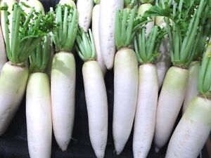 RADISH 'Japanese Daikon' 50 seeds asian vegetable garden EASY TO GROW Minowase
