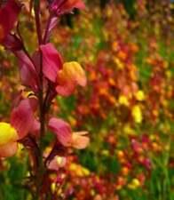 50 Pink Orange Salvia Seeds Flower Seed Perennial Flowers Hummingbird 1323