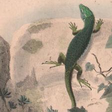 1839 Gravure originale Lézard vert Porte-crèe reptiles sauriens