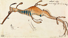 Weedy Sea Dragon by Ludwig Becker A2 High Quality Canvas or Art Paper Print