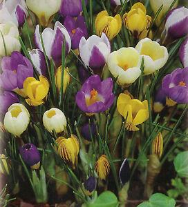 100 oder 200 Botanische gemischte Krokusse Krokus Blumenzwiebeln Lieferbar 9.9.