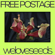 LOCAL AUSSIE STOCK - Purple Pitcher Plant, Sarracenia Purpurea Venosa Seeds ~20x