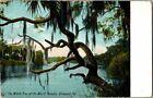 1907. WITCH TREE, TOMOKA LAKE. ORMOND, FL. POSTCARD. MM19