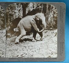 Stereoview Photo Ceylon Sri Lanka 1902 Tethered Elephant In Frenzy Of Rage Kraal