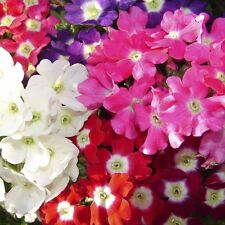 Verbena Ideal Florist Mix Seed Low Fast Growing Annual Free Flowering Drought OK
