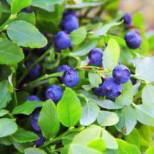 Blueberry (Vaccinium Myrtillus) - 50 Seeds -