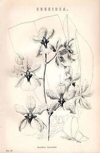1880 PRINT ORCHIDEAE ORCHID ONCIDIUM LANCEANUM FLOWERS
