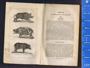 Wild Boar, Domestic Hog & Hog of Siam - 1830 Goldsmith Engraving