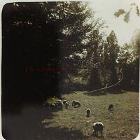 Gregge Da Pecora Francia Foto Stereo PL5P4n Placca Da Lente Vintage