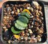 "Haworthia truncata Genbu-no Kai Hybrid Rare Succulent Plant in 3""Pot"