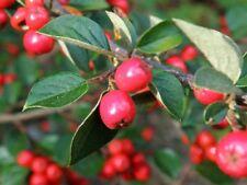 Cotoneaster gamblei KR1576-RARE Arbuste Ou Petit Arbre Plante en 9 cm pot