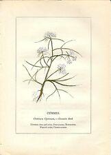 Stampa antica PIANTE DELLA BIBBIA CUMINO Cuminum cyminum 1842 Old antique print