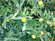 10 ICHANG PAPEDA ORANGE SEEDS - citrus ichangenensis ( most cold-resistant )