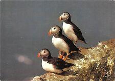 BT9296 animals animaux birds macareux moine