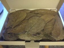 Seemandelbaumblätter über 30 Stück 15-20cm - sonnengetrocknet TopQual. Topseller