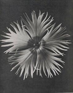 1942 ORIGINAL PRINT PHOTO GRAVURE plate 14 KARL BLOSSFELDT ABSTRACT BOTANICAL
