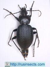 Carabidae, Carabinae, Carabus Carabus (Carabus) goryi USA (Pennsylvania)