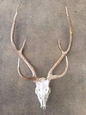 """Large Axis Horns Antlers Skull Rack Mount European Teeth Big Buck 26-28"""""""