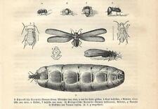 Stampa antica INSETTI TERMITI INSECTA 1891 Old antique print