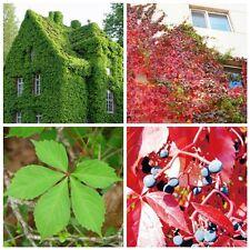 100 Seeds Boston Ivy Vine Virginia Creeper Parthenocissus Tricuspidata Climbing