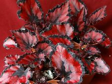 "Begonia Plant Harmony's Red Robin 4"" Pot Rex"