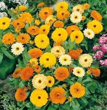 Calendula Fiesta Gitana  100 seeds * Cut flower * herbal tea * CombSH J42