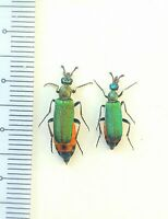 beetles, insect, Meloidae, Cerocoma schaefferi Pair South Ukraine