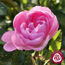 THE FAIRY   Shrub Rose   4Ltr Potted Rose Plant   Pink & Perfumed