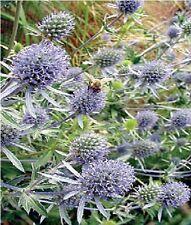 Flower -  Eryngium planum  - Sea Holly - 50gr - Bulk Packet
