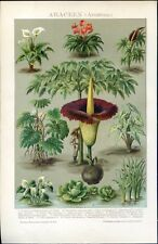Anthrium, Arum, Philodendron... Antique lithograph...1898