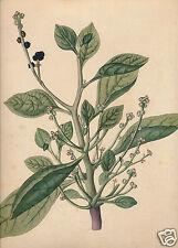 1844 Joseph Franz Jacquin engraving Eclogae plantarum rariorum Malabar spinach