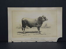 "Cows Bulls Cattle Dairy Farming 1888 Engraving #051 Mantua Bull ""Maestoso"""
