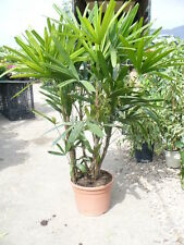 Raphis excelsa, sehr dekorative buschige Palme auch als Zimmerpflanze 130-140cm