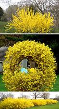 Rare!!!Forsythia suspensa WEEPING FORSYTHIA Yellow Flowers Seeds 30 seeds