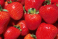 100+ Red Strawberry seeds strawberries seed
