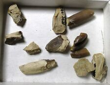 Hyracodon partial teeth collection - Brule formation, Nebraska fossils