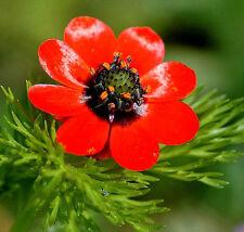 ADONIS Gota de Sangre. Rojo.  1.000  Semillas - Seeds.