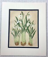 1877 Antik Botanische Aufdruck Weiß Große Schneeflocke Blumen Chromolithographie