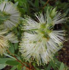 WHITE ANZAC Callistemon citrinus native flowers bottlebrush plant in 140mm pot