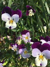 Viola / Pansy Seeds packed 20