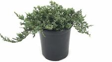 Blue Rug Juniper | Large Gallon Size Plants | Juniperus Horizontalis Wiltonii