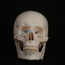 11 Numbered Human Head Skull Model Skeleton Medicine Anatomy Teaching Supplies