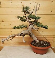Tanuki bonsai tree driftwood semi trained updated photos 1st August 2020