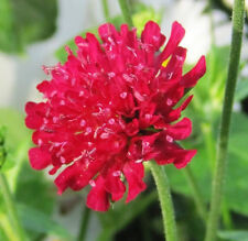 New listing Knautia, Scabiosa, Pincushion Flowers, *135 Seeds, Mixed, Red, Pink, Lavender