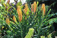 Hedychium Tara - rustique- 1 plant en godet