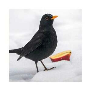 Blackbird and Apple Christmas Cards 8 Card Pk Charity The Wildlife Trusts