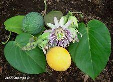 Passiflora ligularis - Sweet Granadilla - 20 Seeds